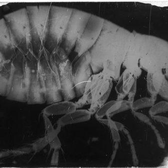 Plaque négative collodion, Photomicrographie de puce,  attribué à A. Bertsch